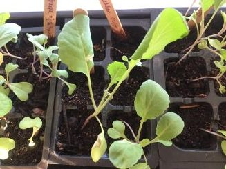 cauliflower seedlings, planting cauliflower, cauliflower plants, fall gardening