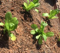 lettuce transplants, lettuce seedlings, lettuce plants, garden lettuce, growing lettuce