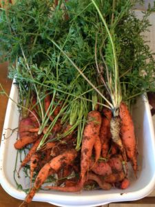 Carrots harvested from a container garden