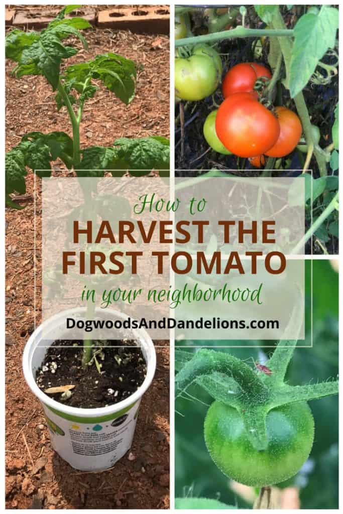 How to Harvest the First Tomato