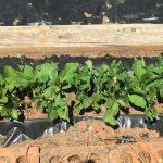 green beans growing in black plastic