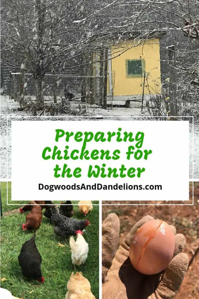 Preparing Chickens for the Winter-frozen egg, chickens in the sun, chicken coop in the snow