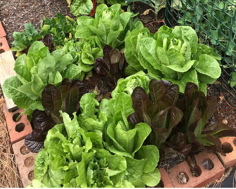 A mix of red and green lettuces.