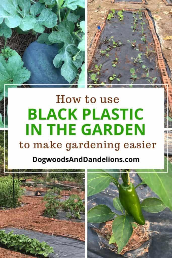 watermelon, black plastic garden, gardening with black plastic, jalapeno pepper