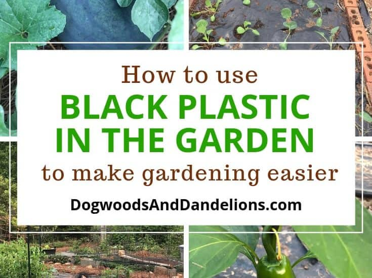 watermelon, black plastic garden, gardening with black plastic, jalapeno pepper