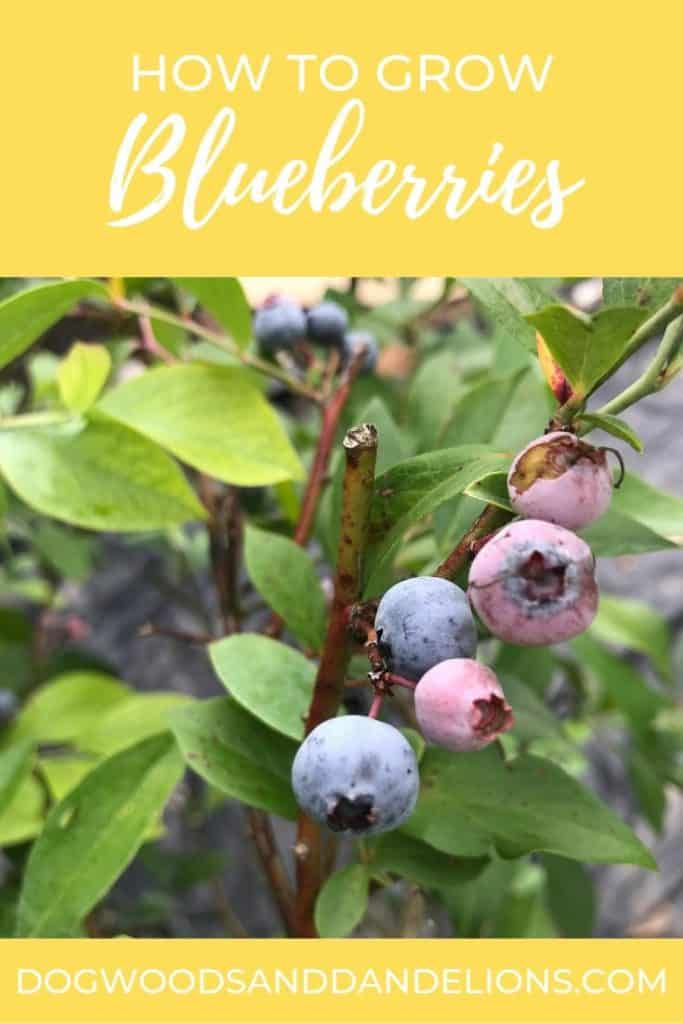how to grow blueberries and ripe blueberries