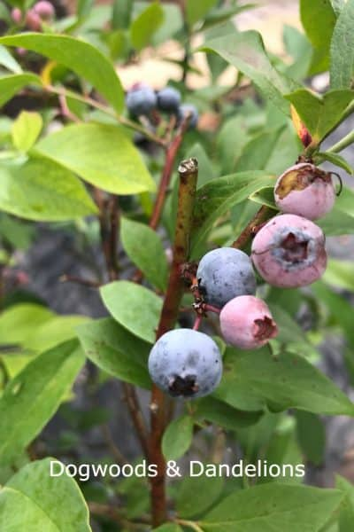 blueberries ready to harvest