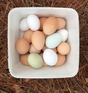 Eggs from free ranging backyard chickens