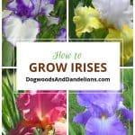 How to Grow Irises