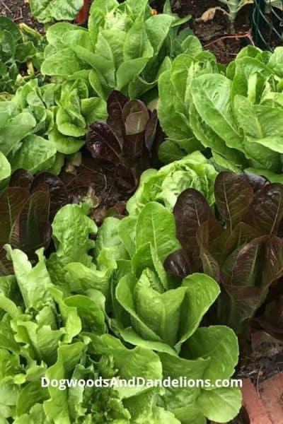 lettuce growing in a backyard garden
