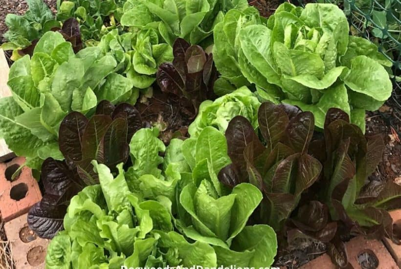 A mixture of red and green romaine lettuce.