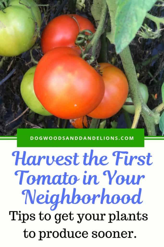 harvesting tomatoes earlier