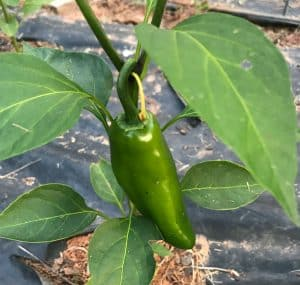 A jalapeno pepper.