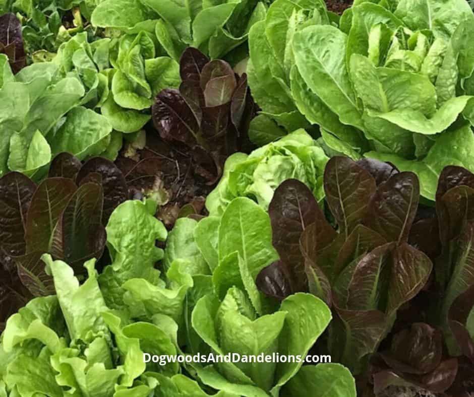 lettuce growing in a winter garden