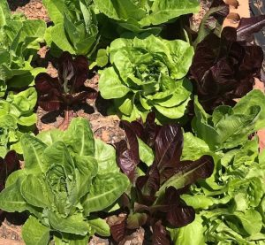 Why garden? Lettuce growing in the garden