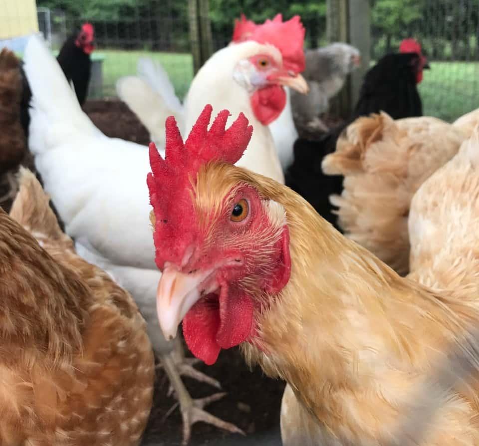 merging flocks of chickens