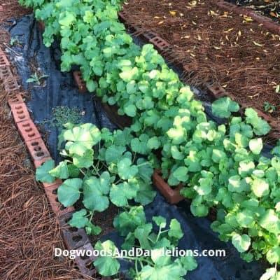 Using Mulch In A Vegetable Garden
