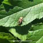 Squash Bugs & Squash Vine Borers