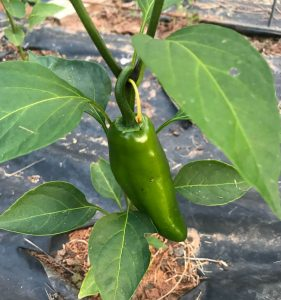A jalapeno pepper is on the low end of the Scoville heat scale.