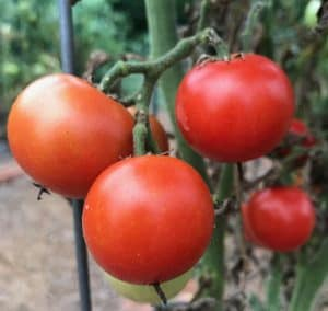 Tomatoes can be determinate or indeterminate, depending on the variety.