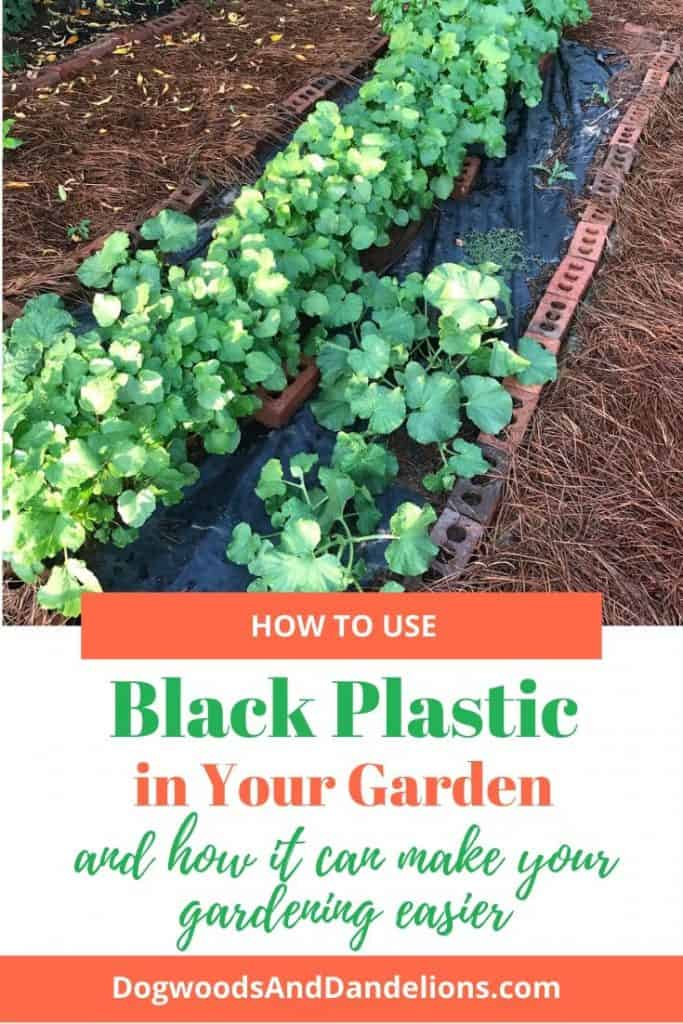 Okra and watermelons growing in a black plastic garden